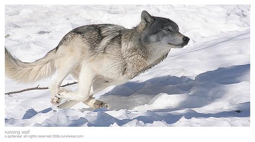wolf03.jpg