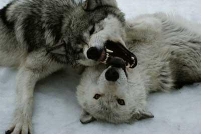 wolf04.jpg